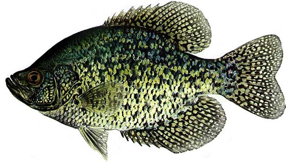 Crappie a