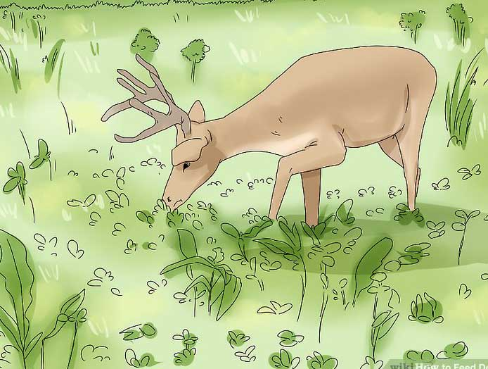 deer eating behaviors