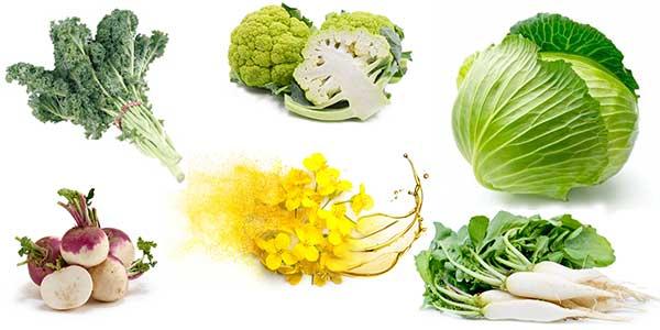 turnip, canola, cabbage