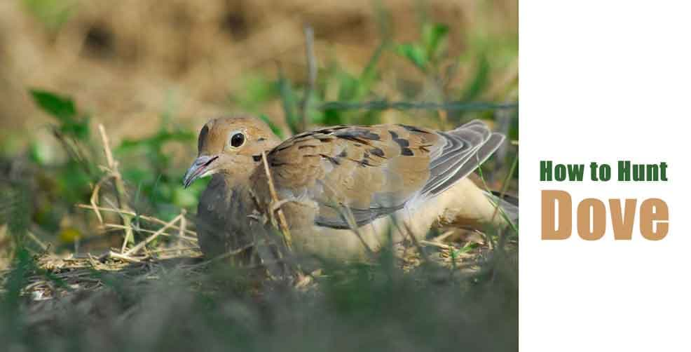 How to Hunt Dove Perfectly